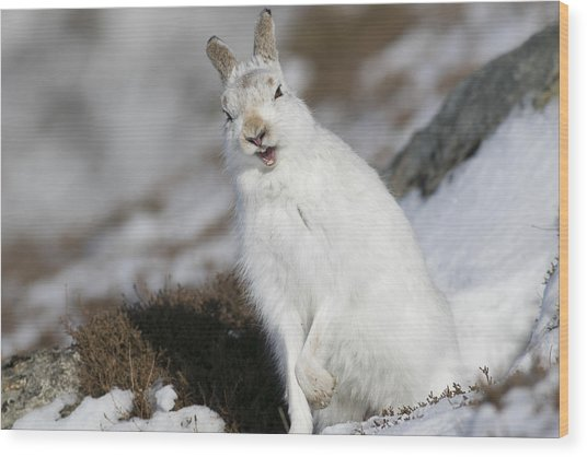 Are You Kidding? - Mountain Hare #14 Wood Print