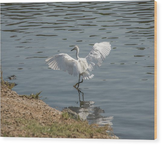Are You Ready To Dance - Great Egret In Mtn View Ca Wood Print