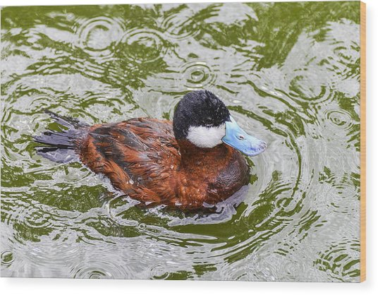 Argentine Ruddy Duck Wood Print