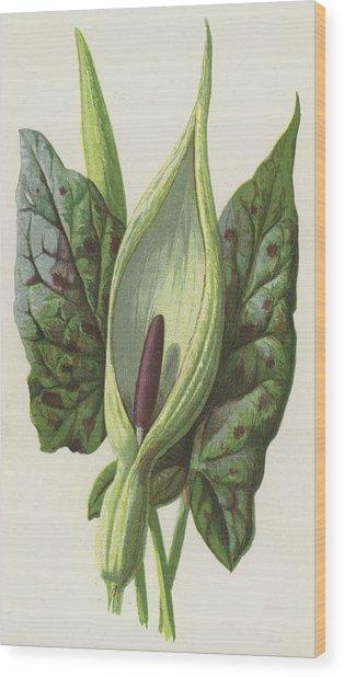Arum, Cuckoo Pint Wood Print
