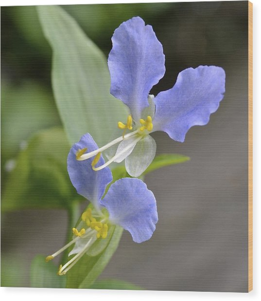 Virginia Dayflower Pair Wood Print