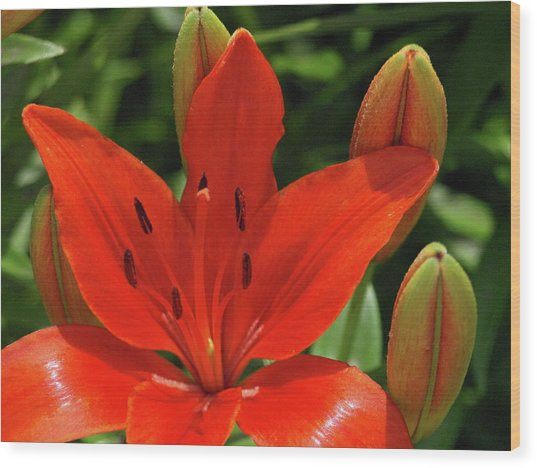 Asiatic Lily - 1 Wood Print
