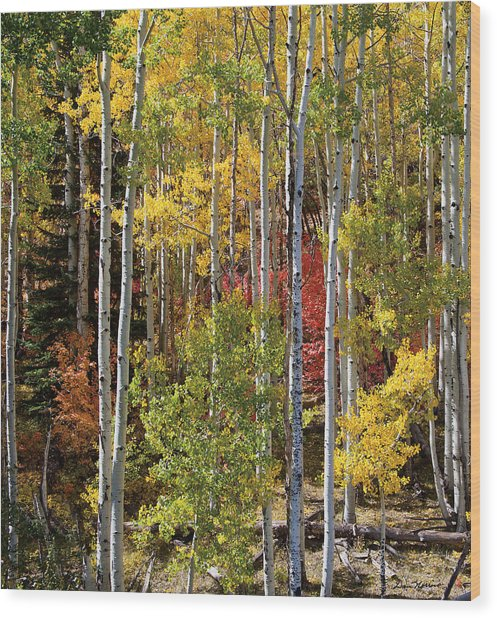 Aspen And Red Maple Wood Print