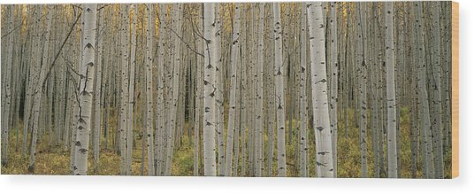 Aspen Grove In Fall, Kebler Pass Wood Print