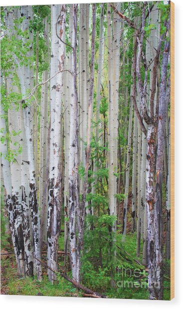 Aspen Grove In The White Mountains Wood Print