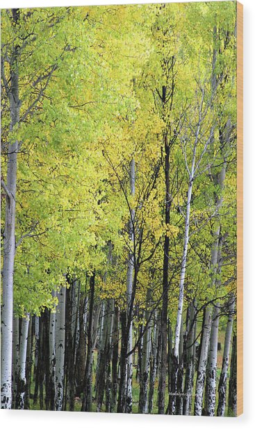 Aspen Splendor Wood Print