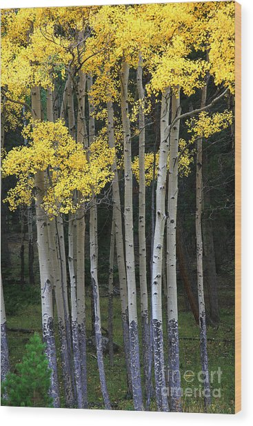 Aspen Stand Wood Print by Timothy Johnson