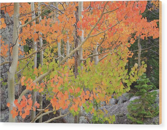 Aspen Stoplight Wood Print