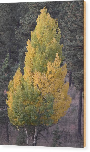 Aspen Tree Fall Colors Co Wood Print