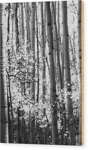 Aspen Trees Black And White Wood Print