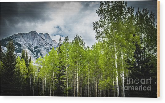 Aspen Trees Canadian Rockies Wood Print
