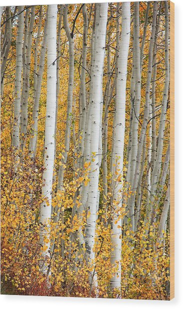 Aspen With Fall Color Wood Print by Dori Peers