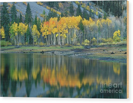 Aspens In Fall Color Along Lundy Lake Eastern Sierras California Wood Print