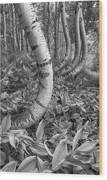 Aspens With Curves Wood Print