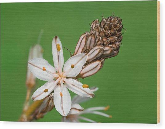 Asphodelus Microcarpus Wood Print by Yuri Peress