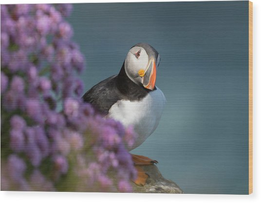 Wood Print featuring the photograph Atlantic Puffin - Scottish Highlands by Karen Van Der Zijden