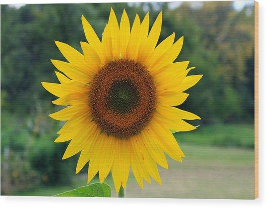 August Sunflower Wood Print