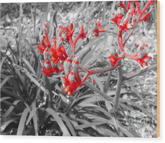 Australian Kangaroo Paws In Kings Park - Perth Wood Print
