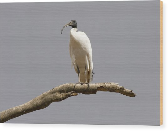 Australian White Ibis Perched Wood Print