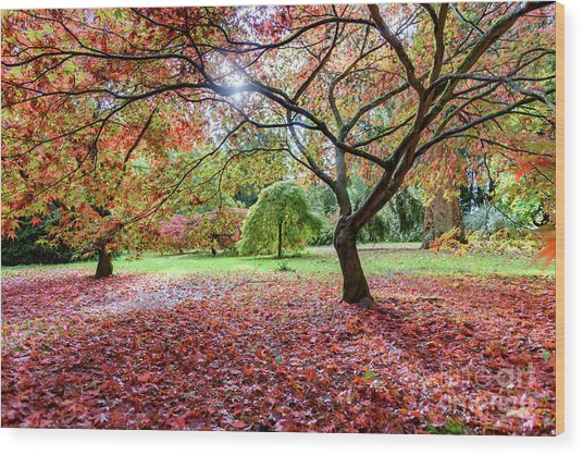 Autumn At Westonbirt Arboretum Wood Print