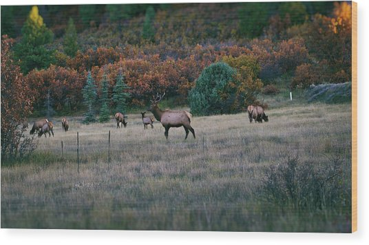 Autumn Bull Elk Wood Print