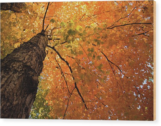 Autumn Canopy In Maine Wood Print