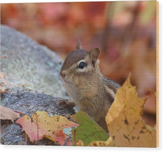 Autumn Chipmunk Wood Print