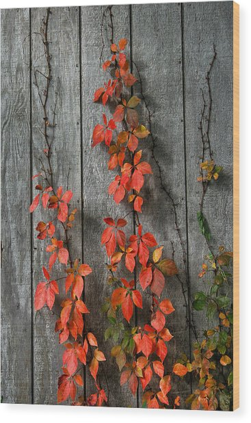 Autumn Creepers Wood Print