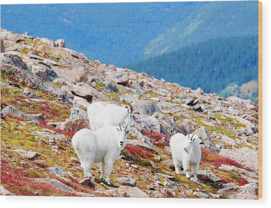 Autumn Goats On Mount Bierstadt Wood Print