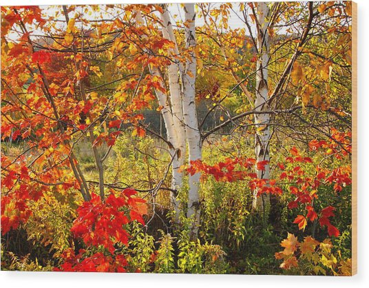 Autumn Scene With Red Leaves And White Birch Trees, Nova Scotia Wood Print