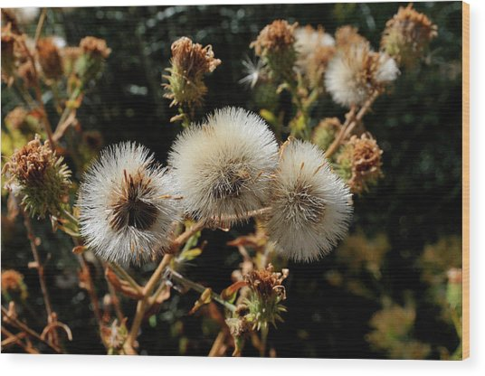 Autumn Thistle Wood Print