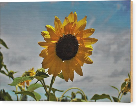 2001 - Awakening Sunflower Wood Print
