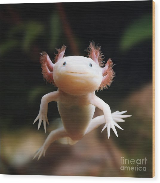 Axolotl Face Wood Print