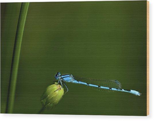 Azure Damselfly-coenagrion Puella Wood Print