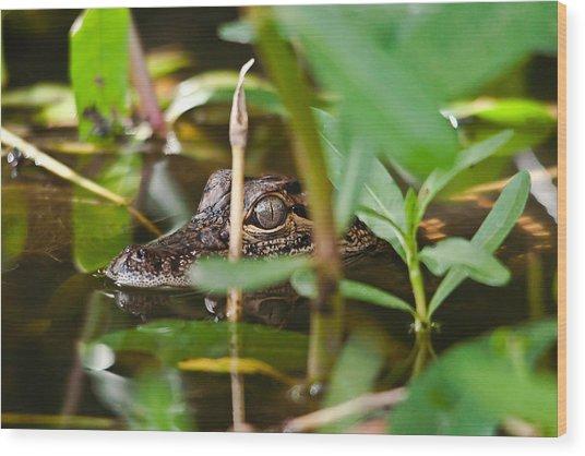 Baby Alligator Wood Print by Bill Metek
