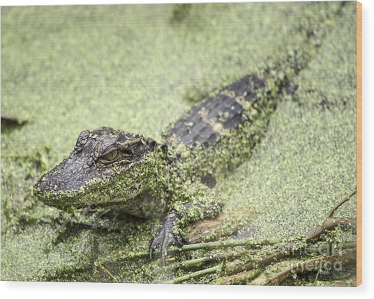 Baby Alligator Wood Print