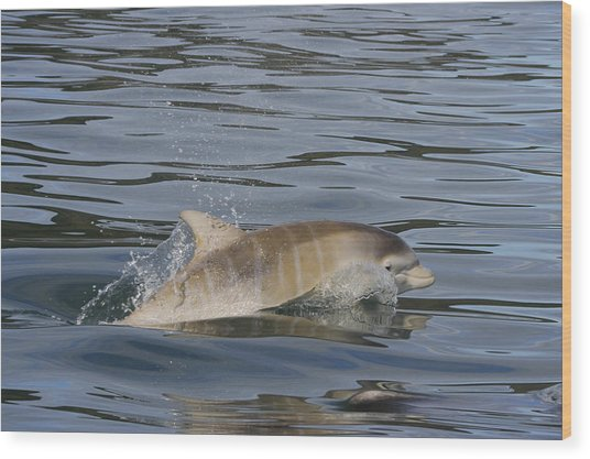 Baby Bottlenose Dolphin - Scotland  #35 Wood Print