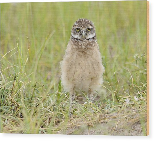 Baby Burrowing Owl Wood Print by Keith Lovejoy