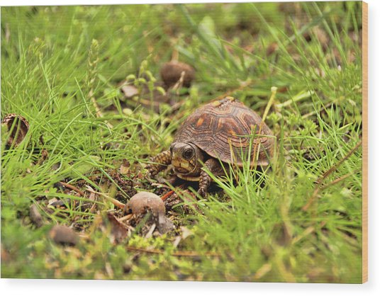 Baby Eastern Box Turtle Wood Print