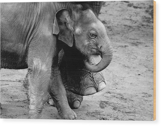Baby Elephant Security Wood Print