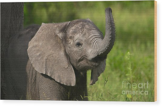 Baby Elephant Smelling Wood Print