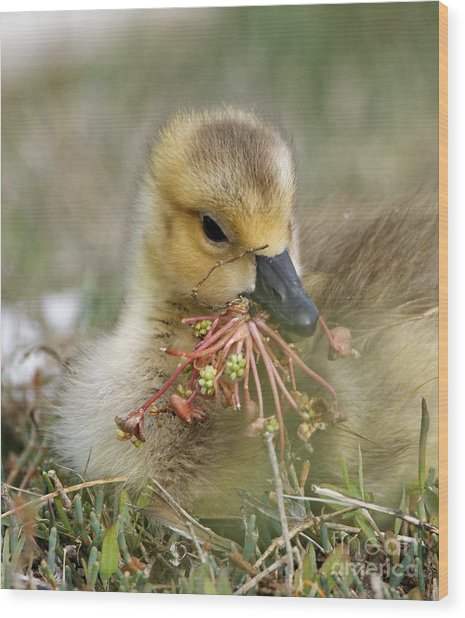 Baby Gosling Collecting Flowers Wood Print