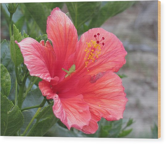 Wood Print featuring the photograph Baby Grasshopper On Hibiscus Flower by Nancy Nale