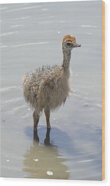 Baby Ostrich Wood Print by Keith Lovejoy
