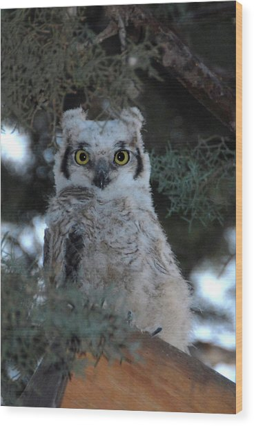 Baby Owlet  Wood Print by Bill Hyde