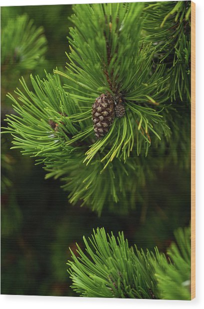 Wood Print featuring the photograph Baby Pine Cone by Whitney Leigh Carlson
