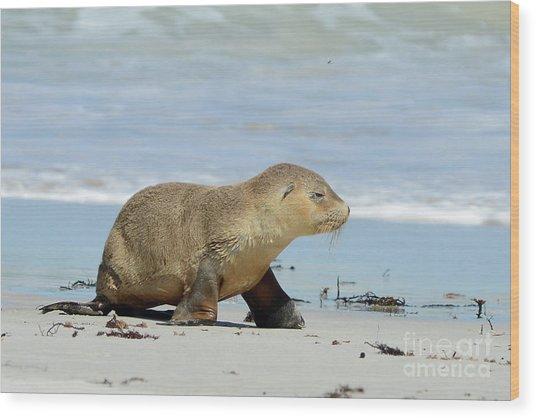 Baby Sea Lion On Seals Bay Wood Print