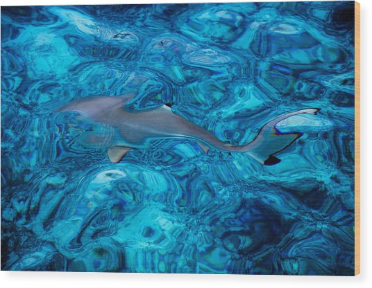 Baby Shark In The Turquoise Water. Production By Nature Wood Print