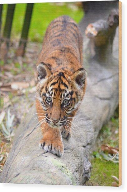 Baby Sumatran Tiger Cub Wood Print