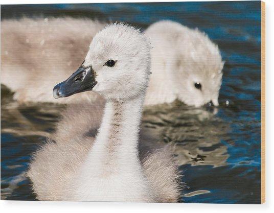 Baby Swan Close Up Wood Print